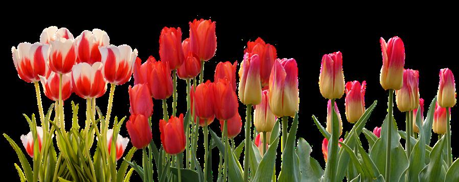 tulip-3024741_1280.png